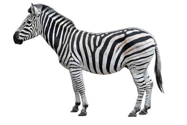 Zebra for Rare Disease Day