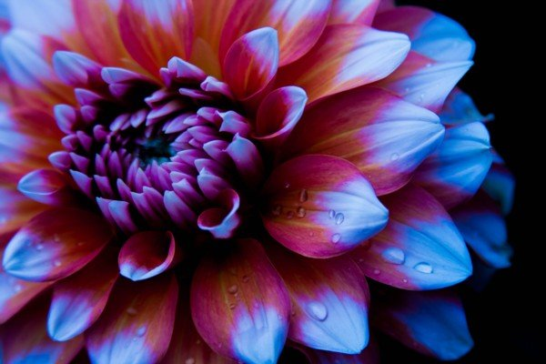 Orange and Blue Dahlia
